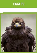 Valkerij Ardanwen - eagles